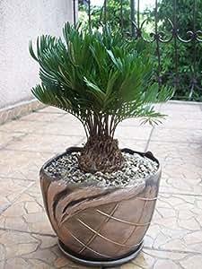 Zamia floridana coontie palm florida native for Planta ornamental zamia