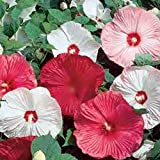 Lioder 50Pcs Giant Hibiscus Flower Seeds Hibiscus Rosa-sinensis Flower Seeds Hibiscus Tree Seeds for Flower Potted Plants