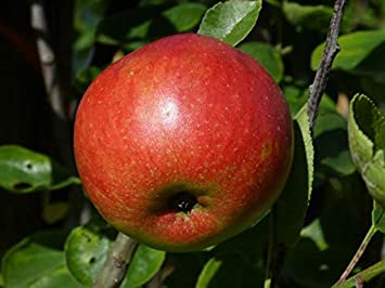 5 Aronia Melanocarpa Fruit Bushes 2ft Superfood with Antioxidants Chokeberry 3fatpigs/®