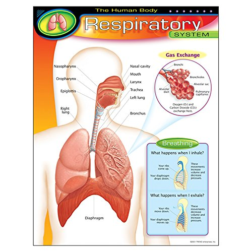 Trend Enterprises The Human Body–Respiratory System Learning Chart (1 Piece), 17