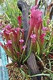 CARNIVOROUS PITCHER PLANT Sarracenia 'Daina's Delight' Live Plant Dana's bug