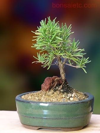 Rosemary Bonsai Tree Care Bonsai Tree