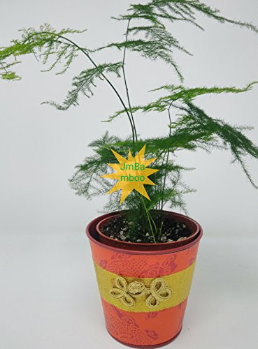 Jmbamboo- Fern Leaf Plumosus Asparagus Fern Yellow- 4