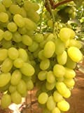 buy Grape Seeds ★ VICTORIA WHITE ★ Early Season ★ NON GMO ★ MEDICINAL ★ 15 Seeds now, new 2018-2017 bestseller, review and Photo, best price $1.96