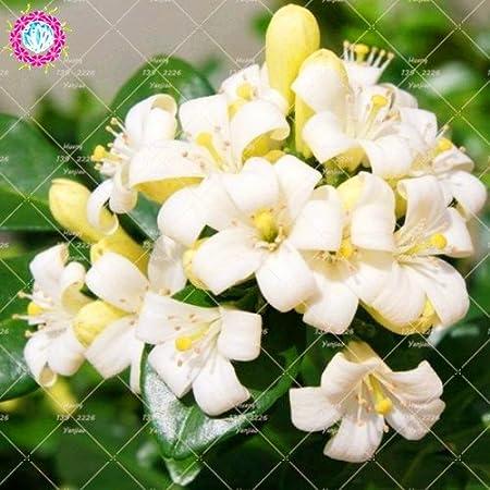 Fiori Bianchi Profumati Rampicanti.20pcs Murraya Paniculata Semi Vero Arancione Jasmine Arbusto Con I