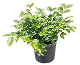 PlantVine Jasminum sambac, Arabian Jasmine, Sambac Jasmine - Large - 8-10 Inch Pot (3 Gallon), Live Plant - 4 Pack