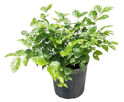 PlantVine Jasminum sambac, Arabian Jasmine, Sambac Jasmine - Large - 8-10 Inch Pot (3 Gallon), Live Plant - 4 Pack by PlantVine (Image #1)