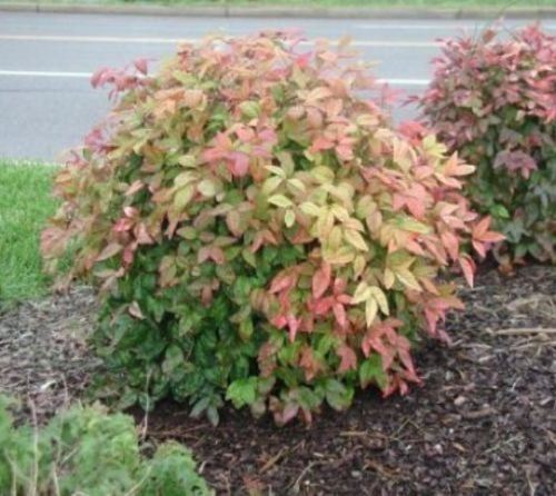 Firepower ( Dwarf ) Nandina Heavenly Bamboo - Live Plant - Quart Pot
