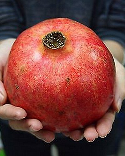 FD610 Organic 15 Turkey Giant Pomegranate seeds Punica Granatum Shrub Fruit Tree - Organic Tree Seeds