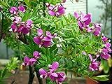 10 Seeds Polygala myrtifolia September Bush, Sweet Pea Bush