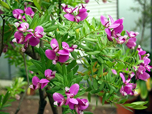 10 Seeds Polygala myrtifolia September Bush, Sweet Pea Bush - Bush Pea