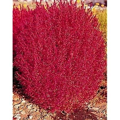 Burning Bush Seeds, Flowering Bush, Heirloom Seed, Bright Foliage Plant 50ct : Garden & Outdoor