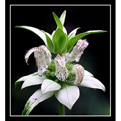 beebalm, Spotted, 320 Seeds, Rare Perennial! White Flower, : Garden & Outdoor