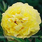 Rare New 'Huang Huakui' Golden Yellow Peony Flower Seeds, Professional Pack, 5 Seeds / Pack, Strong Fragrant Flower