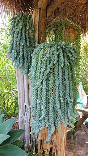 8 cuttings Sedum Burrito Donkey Tail Sedum Morganianum Succulent Cactus rare