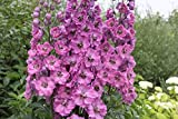 Flower Seeds Delphinium cultorum Madame Butterfly F1 from Ukraine