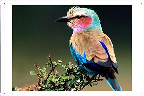 Tin Poster (20x30cm) of Lilac breasted Roller 19044 by Global Animal Sign - Lilac Breasted Roller