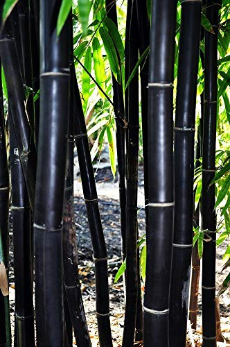 50 Timor Black Bamboo Seeds Privacy Plant Garden Clumping Exotic Shade Screen
