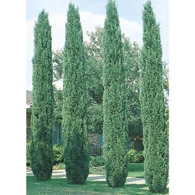 Italian Cypress Seeds, 200 seeds. trees, seeds