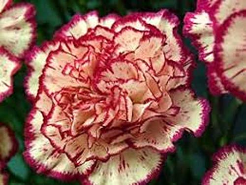 Portal Cool Flower Carnation Double Striped 50 Fresh Seed