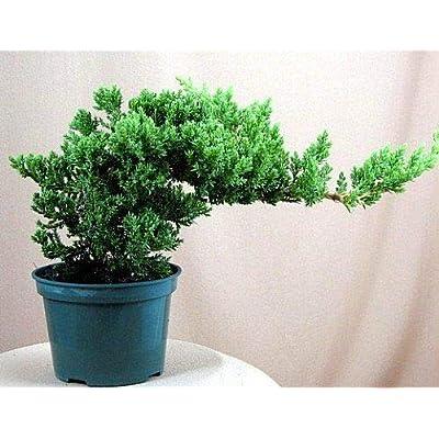 Cutdek Japanese Bonsai Tree Pot Nana Live Flowering House Plant Indoor Garden Best Gift: Garden & Outdoor