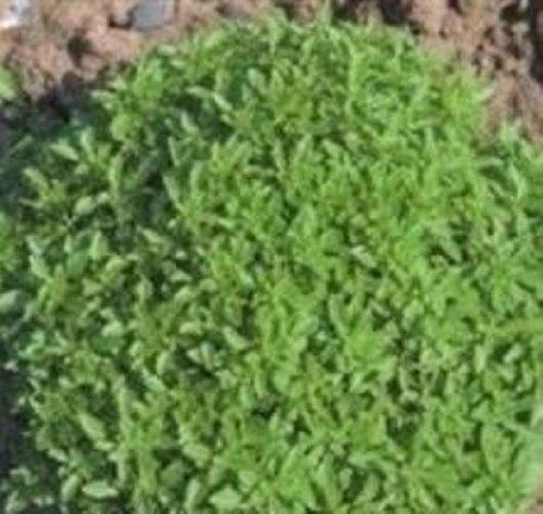 (Herb Seeds - Basil Greek - 2000 Seeds)