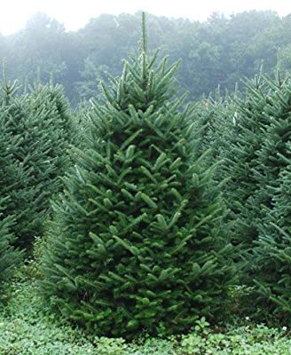 "Fraser Fir - Abies fraseri - Hardy Established Roots - 2.5"" Potted - 3 Plant by Growers Soltuion"