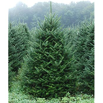 Live Christmas Trees Potted