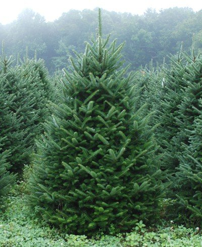 Fraser Fir - Abies fraseri - Hardy Established Roots - 2.5