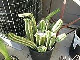3 Pieces Trichocereus - 18-23'' Long Cuttings/Order Cactus Succulent Live Plant