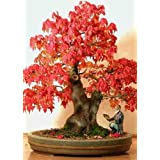 TROPICA - Red maple (Acer rubrum) - 20 Seeds - Bonsai