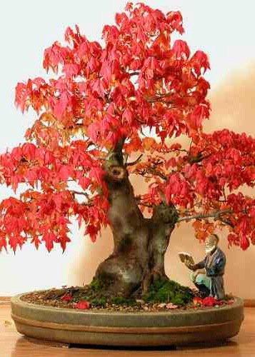 Tropica - Bonsai - acero rosso (Acer rubrum) - 20 semi: Amazon.it ...