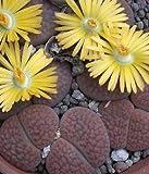 Lithops hookeri @@ living stone succulent seed 15 SEEDS