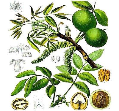 (5) English Walnut, Juglans regia TREE SEEDS - Excellent Shade (English Walnut Tree)