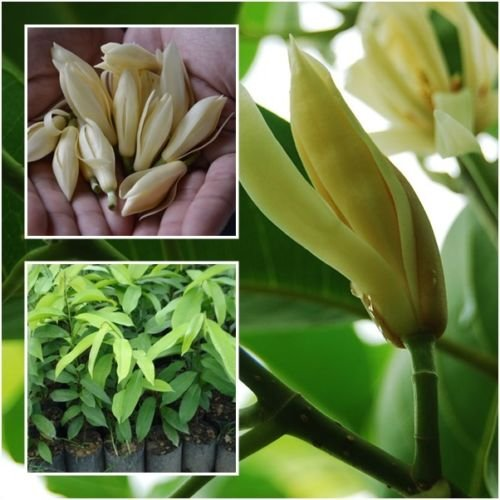 white champaca Plant, white jade orchid tree fragrant flower Grow Root (Jade Orchid Flower)