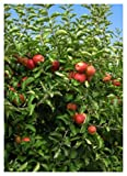 Fuji Apple Tree - Semi-Dwarf - Healthy Established - 1 Gallon Trade Pot - 1 Each by Growers Solution