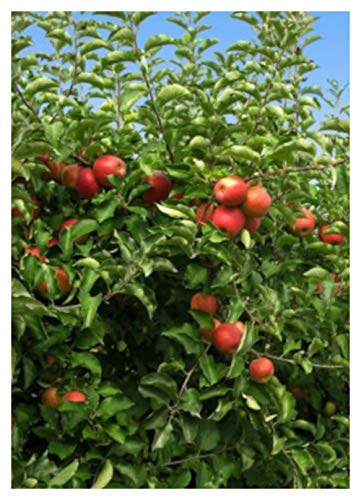 Fuji Apple Tree - Semi-Dwarf - Healthy Established - 1 Gallon Trade Pot - 1 Each by Growers Solution by Grower's Solution