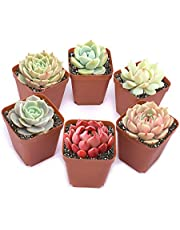 Succulents Plants Live 6 Pack of Assorted Rosettes Succulents Fully Rooted in 2'' Planter Pots with Soil, Hand Selected Variety Pack of Mini Live Succulents Cactus Indoor Outdoor Easy Care Plants