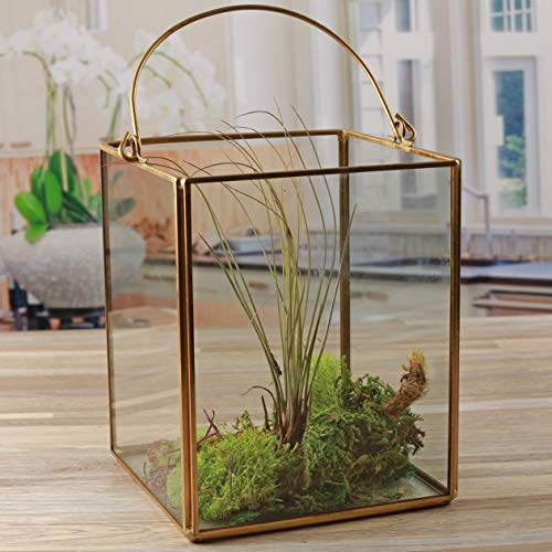 "(Circleware 03512 Terraria Clear Glass Terrarium with Handle Home Plant Decor Metal Frame Design Display Flower Balcony Box and Best Selling Garden Gifts 5.12"" x 6.50"" Square Gold 5.12x 6.5)"