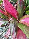 1 Ti Hawaiian Cordyline Fruticosa Live Plant Approx. 1-2 Feet Tall Beauty Plant
