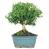Brussel's Live Harland Boxwood Outdoor Bonsai Tree - 3 Years Old; 6'' to 8'' Tall with Decorative Container
