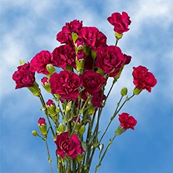 Amazon globalrose 160 stems of fresh cut purple spray globalrose 160 stems of fresh cut purple spray carnations 640 blooms fresh flowers for mightylinksfo