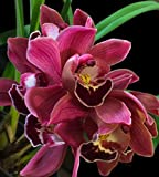 Orchid Insanity -- Cymbidium Koushu Tango -- dark red flower easy hardy warm-tolerant excellent for beginners