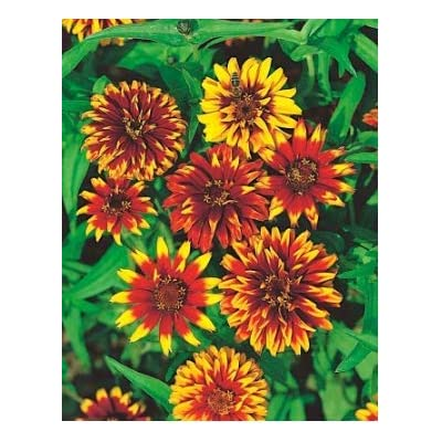 Almost Seeds- Zinnia Seeds flowerseeds Zahara Raspberry Ripple Summer Wildflowers Perennial Assortment Flower Seeds Perennial Perennial for Balcony Garden : Garden & Outdoor