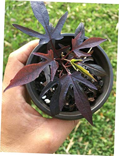 CLORA Plant Blacky Black Burgundy Ipomoea Sweet Potato Vine - EB25