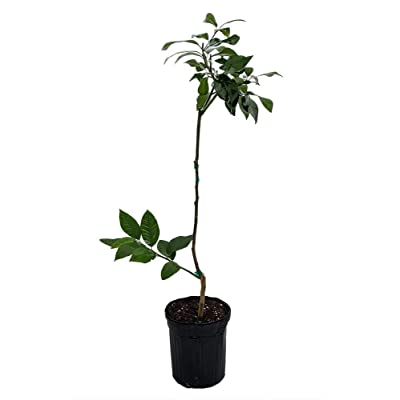 "AchmadAnam - 4x8"" Pot - Dwarf Eureka Lemon Tree Form, Plant, Tree, Bulb : Garden & Outdoor"