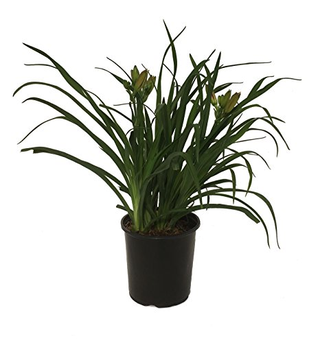 Premier Plant Solutions Daylily