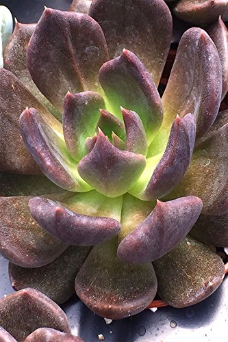 Echeveria Succulents Assorted, 2in pot Live Plant Houseplant by Root 98 Warehouse