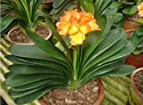Clivia miniata seeds, potted seed, flower seed, variety complete - 100 pcs/bag