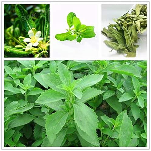 AGROBITS Semillas: 1000 nueva Stevia rebaudiana flores mares ...